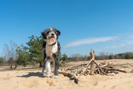 Black and white dog on a sand dune