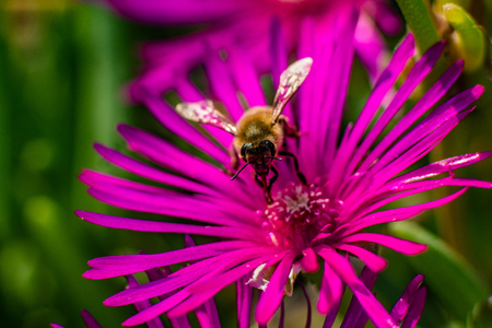 Macro close up of a bee collecting pollen on a pink noon flower