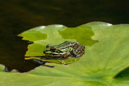 Rana esculenta-  common water frog sunbathing in a lake
