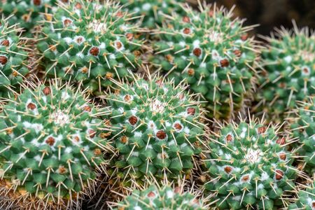 detailed close uo of a group of several wart cactusses with little red flowers and many thorns