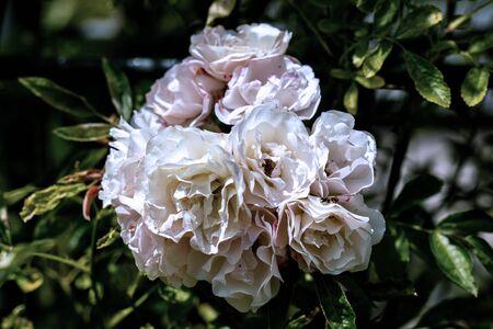 bunte Nahaufnahme eines Haufens weißer tausendschöner Kletterrosenköpfe mit Bokeh-Hintergrund und detaillierten Blütenblättern
