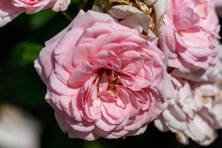 farbenfrohe Nahaufnahme von mehreren Floribunda-Rosenköpfen für Haus und Garten mit Bokeh-Hintergrund und detaillierten Blütenblättern Standard-Bild