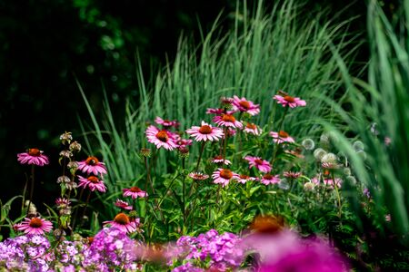 pink and purple phlox and coneflowers with green perennials forming a colourful summer flower bed
