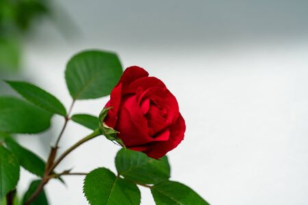 Isolated red rose with white space for text and words 免版税图像