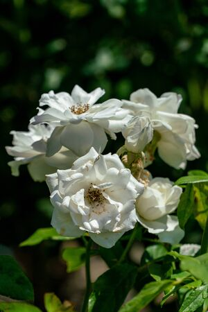 Close up of several white floribunda 版權商用圖片