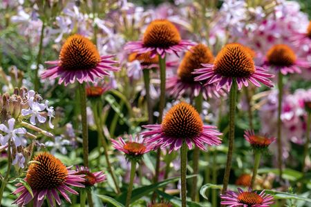 Close up of beautiful purple cone flowers (echinacea) with phloxes in the background Stok Fotoğraf