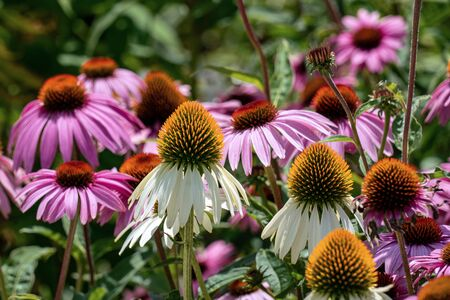 Close up of beautiful purple and white cone flowers (echinacea) in a sunny summer flower bed