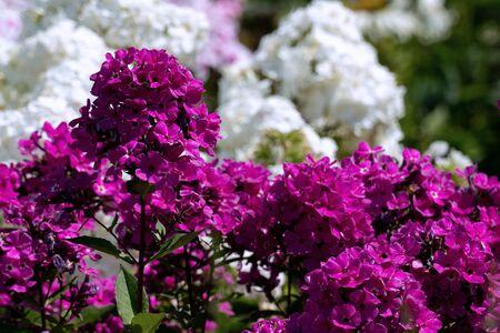 Wunderschöner lila Phlox in voller Blüte mit weißen Phloxen im Hintergrund in einem Sommergarten Standard-Bild