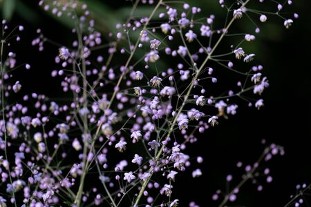 Detailed macro close up of pink coloured Gypsophila paniculata with a black background
