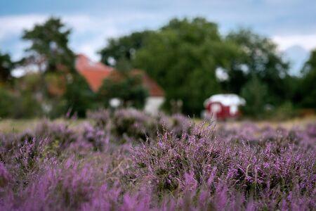 Typical german heather landscape with purple erica plants in full bloom near Pritzen, Brandenburg, Germany