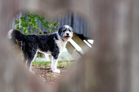 A black and white bordercollie dog seen through a heart shaped hole in a wooden door Stock Photo