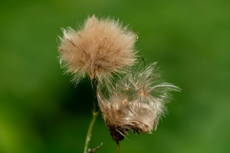 Macro shot of fluffy seed balls of a bloomed flower in autumn with a blurry green bokeh background