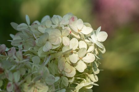 Close up of the tender and fragile white flowers of a Panicled Hydrangea (Hydrangea paniculata) in bright sunshine with a dark background and space for text