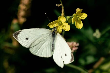 Detailed close up of a white Pieris rapae (small cabbage white) butterfly on some yellow flowers in bright sunshine