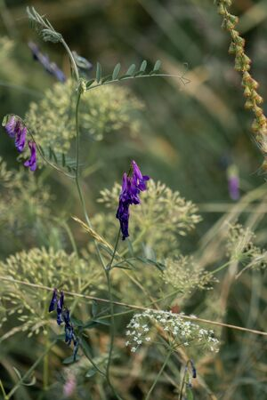 Dreamy composition of purple vetches (vicia) in the foreground and light green plants in the background Foto de archivo