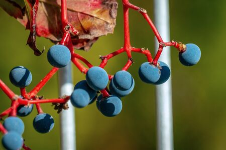 Close up of blue berries of grape woodbine with red stems in bright sunshine in autumn Banque d'images