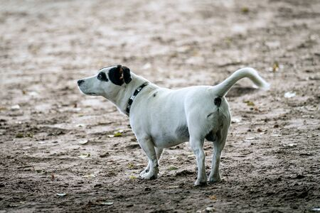 Little white Jack Russel breed like dog with short legs is playing on a beach near a lake on a sunny autum day