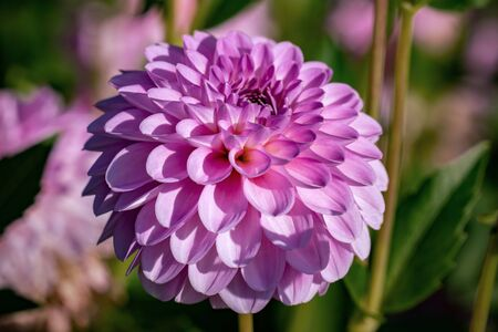 "Detailed close up of a beautiful pink decorative ""Stolze von Europa"" dahlia flower blooming in bright sunshine"