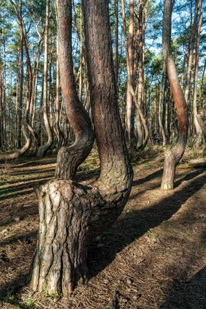 The crooked forest Krzywy Las near Gryfino in Poland Stock Photo