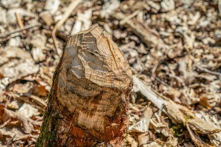 Beaver gnaw marks on a fallen birch tree trunk at Papenluch Briesetal, Birkenwerder, Germany