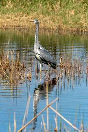 close up of a gray heron (ardea cinerea) in it´s natural habitat at a lakeside Фото со стока