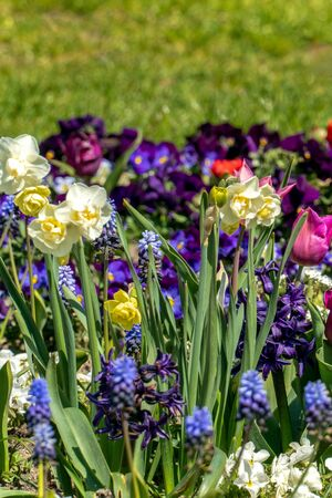 Very colorful spring flower bed with daffodils, pansies, buttercups and hyacinths