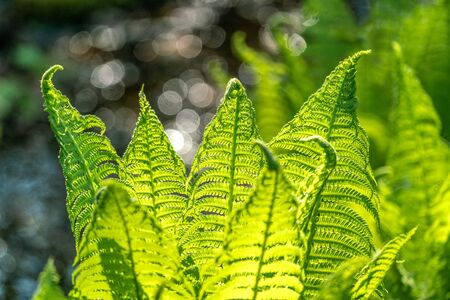 Close up of lush green ferns in bright spring sunshine