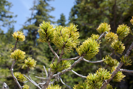remedial: Montenegrin pine (branch) Stock Photo