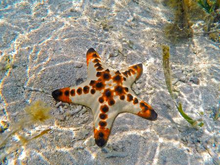 cushion sea star: Orange starfish on the sand Stock Photo