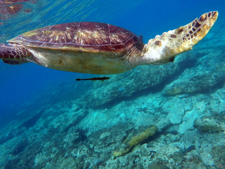 green turtle: Green sea turtle above the coral reef and sea bottom. Sea turtle with suckerfish. Green turtle swimming in the sea. Exotic animal underwater. Blue lagoon wild life. Philippines snorkeling spot - Apo
