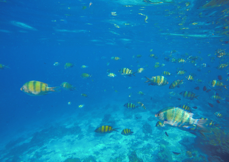 water ecosystem: Underwater landscape with coral fishes. School of dascillus fish. Yellow and black striped coral fish. Clean blue sea water by the coral reef. Oceanic ecosystem. Underwater photography for wallpaper Stock Photo
