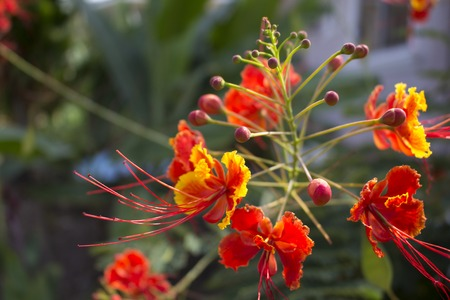 Red tropical flower caesalpinia on bush. Tropical flower with small red petals and long stamen. Exotic garden in asian country. Warm climate blossoms. Fresh colorful blooming bush in greenery photo