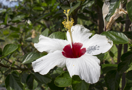 pistil: Hibiscus flower with white petals and red middle. Exotic flower on bush with green leaf. Sunny garden with tropical flowers. Asian symbol of purity. Natural photo of blossom plant. Botanical image Stock Photo