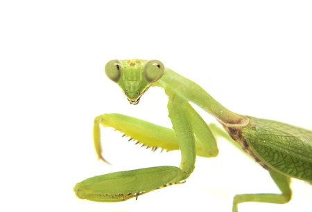 Mantis on white background. Closeup image of mantis looking into camera. Soothsayer or mantis green insect. Mantis head and arms with claws. Grass green Mantodea from tropical nature. Mantis isolated Stock Photo