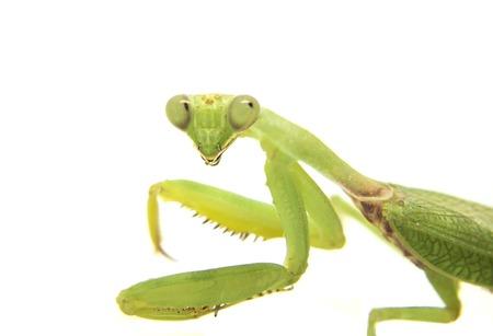soothsayer: Mantis sobre fondo blanco. Imagen de detalle de mantis mirando a la cámara. Adivino o un insecto mantis verde. Mantis cabeza y los brazos con garras. Mantodea hierba verde de la naturaleza tropical. Mantis aislado Foto de archivo