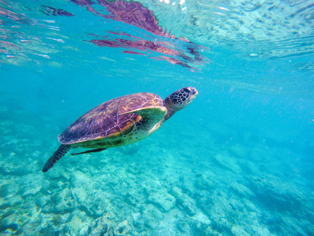 Sea turtle in blue water. Big sea turtle diving in coral reef. Sea tortoise. Green turtle swims in sea. Snorkeling with turtle in lagoon. Aquatic photo for banner template or poster with text place