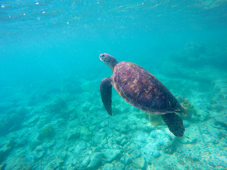 turquoise water: Sea turtle in blue water. Green sea turtle diving in coral reef. Sea tortoise. Green turtle swims in sea. Snorkeling with turtle in lagoon. Aquatic image of extreme underwater sport with text place Stock Photo