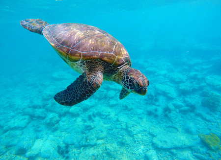 underwater sport: Sea turtle in blue water. Green sea turtle diving in coral reef. Sea tortoise. Green turtle swims in sea. Snorkeling with turtle in lagoon. Aquatic image of extreme underwater sport with text place Stock Photo