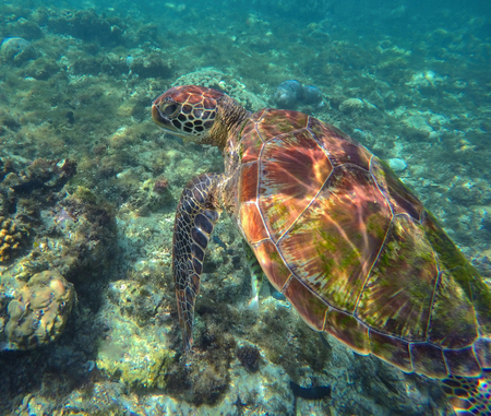 Sea turtle in blue water. Green sea turtle diving in coral reef. Sea tortoise. Green turtle swimming. Snorkeling with turtle in lagoon. Underwater image for banner template or poster with text place