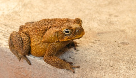 anuran: Large toad on grey background. Brown frog at the concrete backyard. Frozen animal amphibian close-up photo. Mimicry ability in wild nature. Exotic fauna in tropical climate. Wildlife near human house Stock Photo