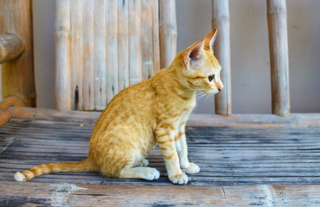 pussy hair: Domestic cat sitting on wooden bench in the yard. Red kitty in the village. Summer vacation for pet. Cute and lovely animal photo. Striped cat looking at a bird. Sweet kitten playing in the ground Stock Photo
