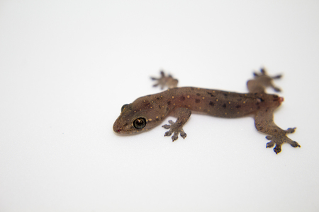 macrophoto: Gecko without tail on white background. Baby lizard with tail loss ability resting. Tropical animal close-up portrait. Image of exotic reptile from South Asia. Wild fauna living near human.