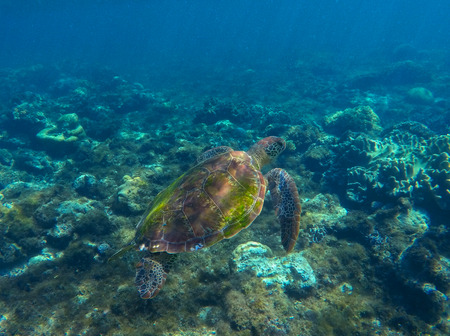 water ecosystem: Sea turtle swimming on seashore. Green sea turtle photo in clean blue water. Sea turtle closeup. Coral reef ecosystem. Snorkeling with turtle. Philippines underwater nature fauna. Exotic animal image