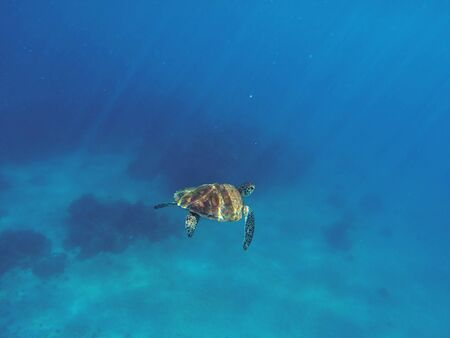 green turtle: Sea turtle in blue water. Green turtle swimming in deep blue sea. Marine sanctuary in tropical island. Rare oceanic species. Sea life and animal in wild nature. Snorkeling photo. Nautical landscape