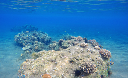 oceanic: Deep sea and coral reef landscape. Coral reef animals. Sea ecosystem. Fresh corals at the bottom of the sea. Oceanic view from underwater. Seashore diving or snorkeling. Beautiful tropical nature