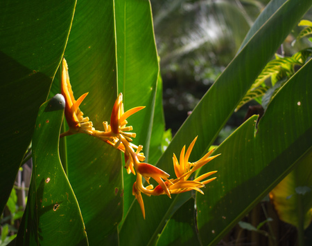 Yellow tropical flower in jungle. Beautiful exotic plant in garden. Sunlight on orange petal. Greenery of virgin nature on a distant island. Horizontal image of heliconia or bird of paradise flower