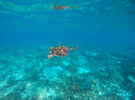 green turtle: Sea turtle in blue water of tropical lagoon. Green turtle swimming underwater close photo. Wild animal of tropical sea. Oceanic rare species. Snorkeling photo with turtle. Tortoise reptile undersea Stock Photo