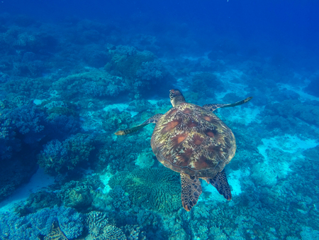 water ecosystem: Sea turtle in blue water of tropical lagoon. Green turtle swimming underwater close photo. Wild animal of tropical sea. Oceanic ecosystem. Snorkeling photo with turtle. Tortoise animal in wild nature