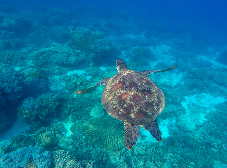 green turtle: Sea turtle in blue water of tropical lagoon. Green turtle swimming underwater close photo. Wild animal of tropical sea. Turquoise seawater. Snorkeling photo with turtle. Tortoise animal in wild nature
