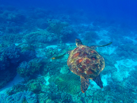 green turtle: Sea turtle in blue water of tropical lagoon. Green turtle swimming underwater photo. Wild animal of tropical sea. Turquoise seawater. Snorkeling photo with turtle. Tortoise rare marine species